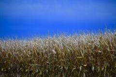 pg-41-corn-field